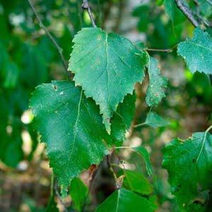 Листья берёзы (листя берези)